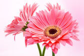 Three red Gerber flowers on pink background. — Stock Photo