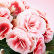 Beautiful begonia flowers isolated on pink background. — Stock Photo