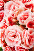 Close-up of pink begonias showing their textures, patterns and details. — Stock Photo