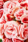 Close-up van roze begonias waaruit hun structuren, patronen en details. — Stockfoto