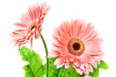 Beyaz zemin üzerine iki kırmızı gerber çiçek. — Stok fotoğraf
