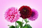 ピンクの背景に分離された 3 つの美しい菊. — ストック写真