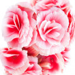 Beautiful red begonia flowers isolated on white background. — Stock Photo