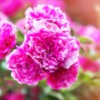 Bush of beautiful pink roses. — Stock Photo