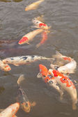 Koi fish in a garden pond — Stock Photo