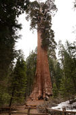 General Grant Grove — Fotografia Stock