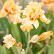 Stock Photo: Orange Iris