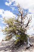 Ancient Bristlecone Pine Forest — Stock Photo