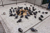 Pigeons in Chicago — Stock Photo