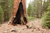General Grant Grove — Stock Photo