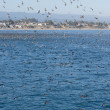 Stock Photo: SANTCRUZ, CA, US- SEPTEMBER 5: Thousands of birds feeding on