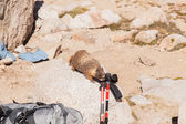 Yellow-bellied marmot — Stock Photo