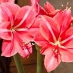 St. Josephs Lily — Stock Photo