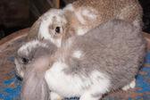 Lop eared rabbit — Stock Photo