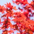 Постер, плакат: Red Maple