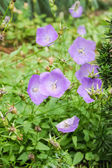 Peach-leaved bellflower — Stock Photo
