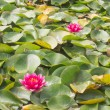 Red waterlily — Stock Photo #36973487