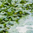 Yellow Water-lily — Stock Photo