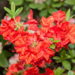 Rhododendron ponticum — Stock Photo #37576845