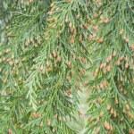 ������, ������: Nootka Cypress