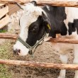 Stock Photo: Holstein cow