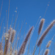 Fountain Grass — Stock Photo #38558299