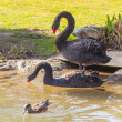 Black Swan — Stock Photo #39613225