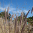 Fountain Grass — Stock Photo #39618057