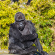 Stock Photo: Western lowland gorilla