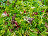 Baby mixed salad greens — Stock Photo