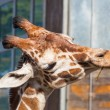 Постер, плакат: Reticulated giraffe