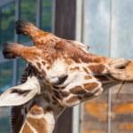������, ������: Reticulated giraffe