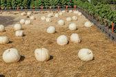 Jarrahdale Pumpkin — Stock Photo