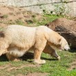 Polar Bear — Stockfoto #40347087