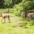 Stock Photo: Vicuna