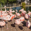 Chilean Flamingo — Stock Photo