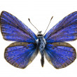 Stock Photo: Polyommatus eros