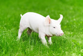 Young piglet on green grass — Stock Photo