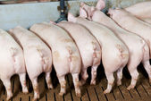Buttocks of young group piglet feeding — Stock Photo