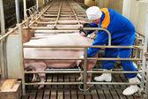 Pig ultrasound diagnosis — Stock Photo