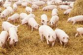 молодой поросенок на сено на свиноферме — Стоковое фото