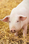Young piglet on hay at pig farm — Stock Photo