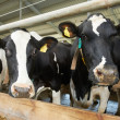 Cows herd during milking at farm — Stock Photo #18562107