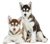 Two Siberian husky puppy isolated — Stock Photo