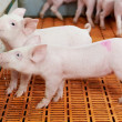 Young drinking piglet at pig farm — 图库照片