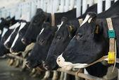 Stada krów w czasie doju w gospodarstwie — Zdjęcie stockowe