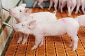 Young drinking piglet at pig farm — Stock Photo
