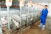 Veterinarian doctor examining pigs at a pig farm — Foto Stock