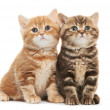 Two British Shorthair kitten cat isolated — Stock Photo #20424435