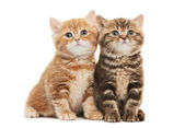 Two British Shorthair kitten cat isolated — Stock Photo